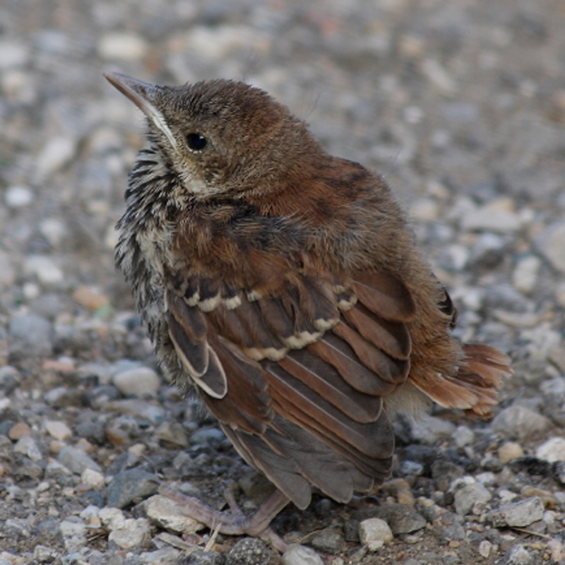 Brown Thrasher fledgling - Wolf Oesterreich