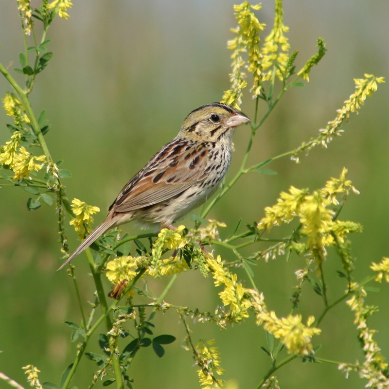 Henslow's Sparrow - Mark Brown