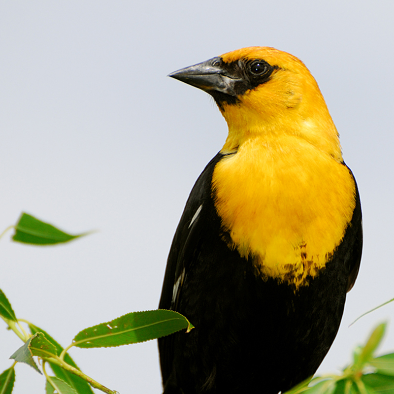 Yellow-headed Blackbird - Kip Ladage